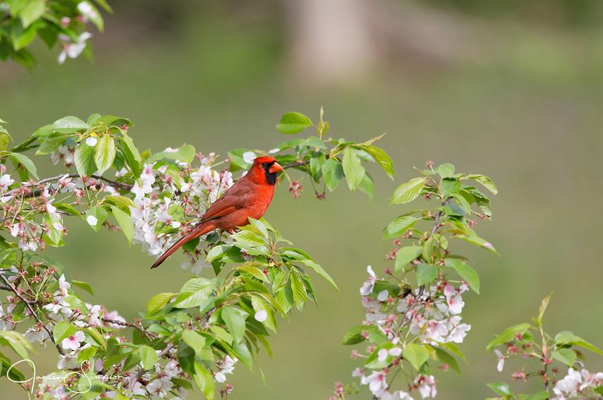 Male Cardinal Blooms-7632 web.jpg