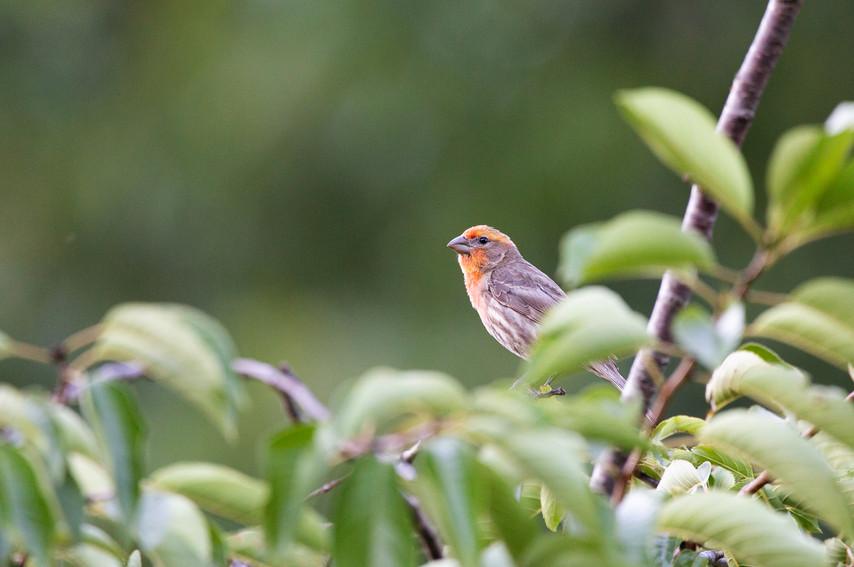 Male House Finch-3218-Web.jpg