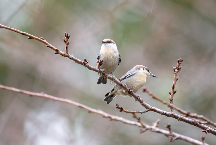Brown Headed Nuthatches-8323-Web.jpg