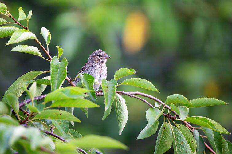 Female House Finch-3669-Web.jpg