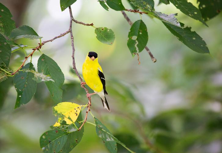 Goldfinch-3956-Web.jpg