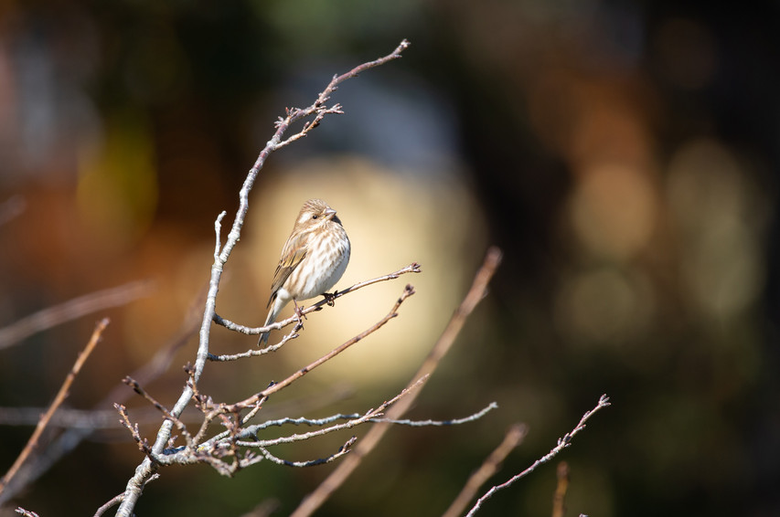 House Finch Fall-2603-Web.jpg