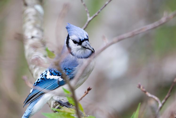 Blue Jay Close Up-9949-Web.jpg