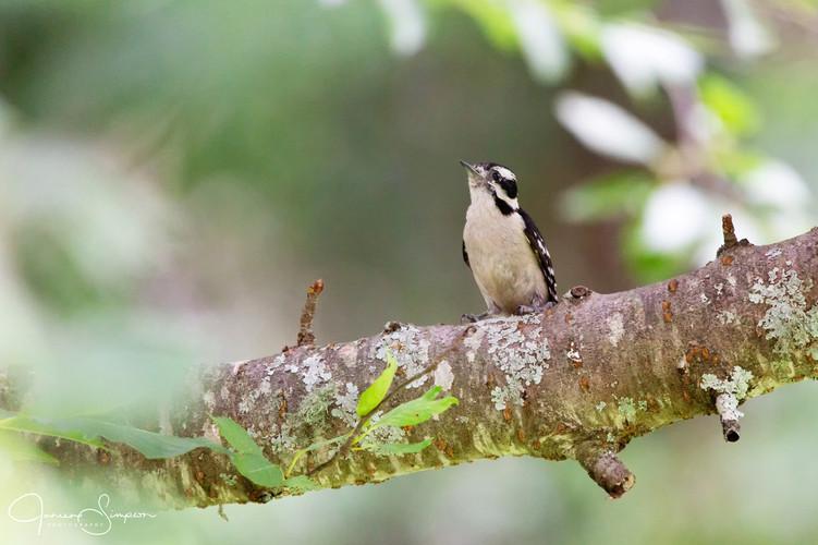 Downy Woodpecker-2877-Web.jpg