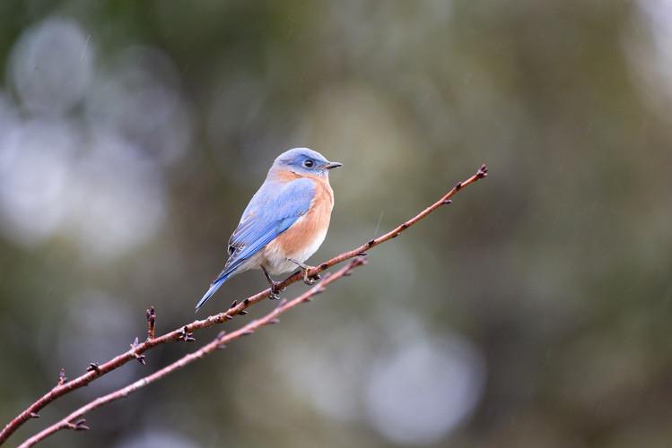 Eastern Bluebird-1480-Web.jpg
