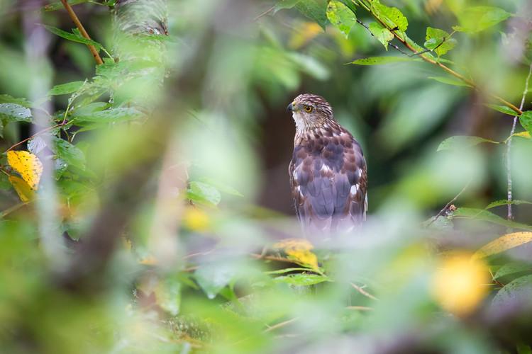 Hawk - Tree-4988-Web.jpg