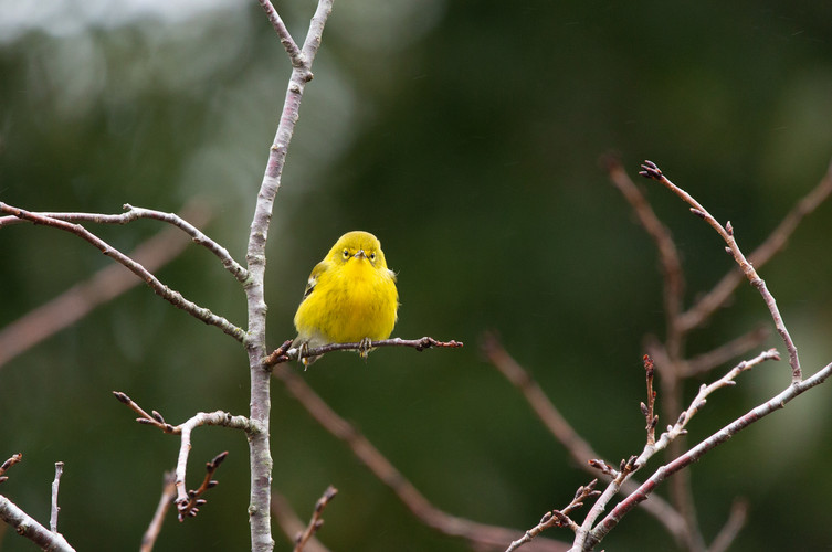 Pine Warbler-1574-Web.jpg