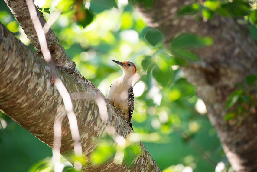 Red Bellied Woodpecker-8477-web.jpg