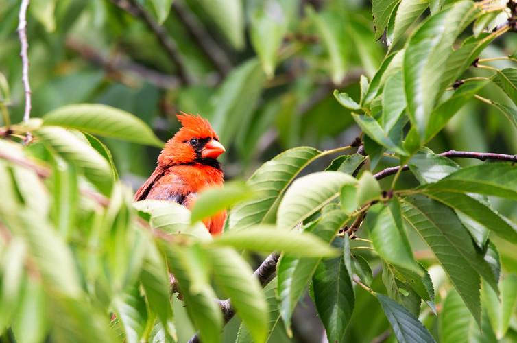 Male Cardinal-3739-Web.jpg
