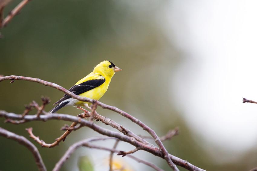 Male Goldfinch-7601-Web.jpg
