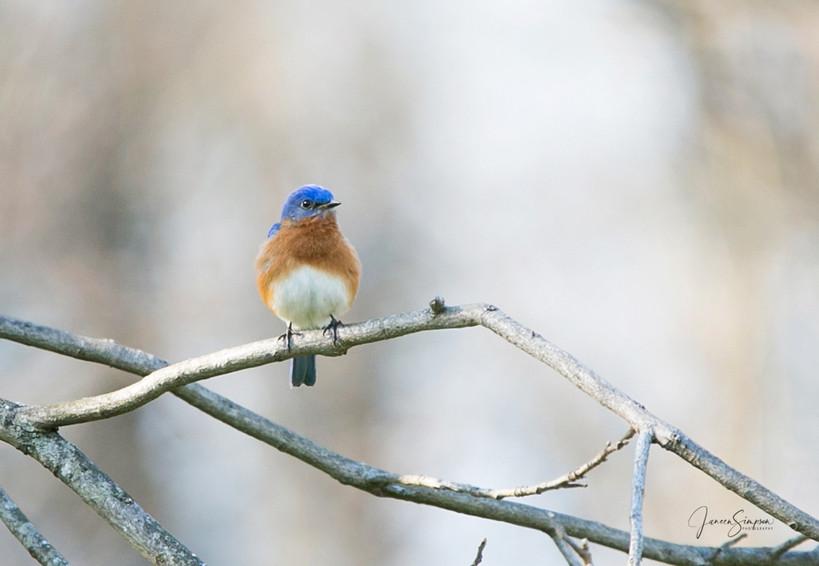 Male Eastern Bluebird-7113-web.jpg