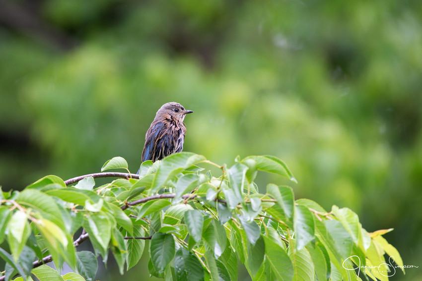 Eastern Bluebird Wet-2368-web.jpg