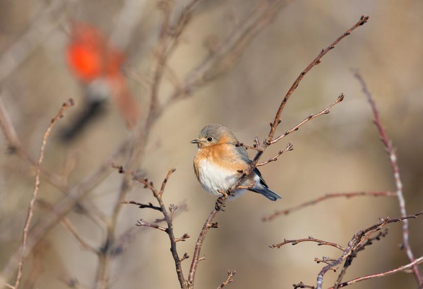 Bluebird Female-2873-web.jpg