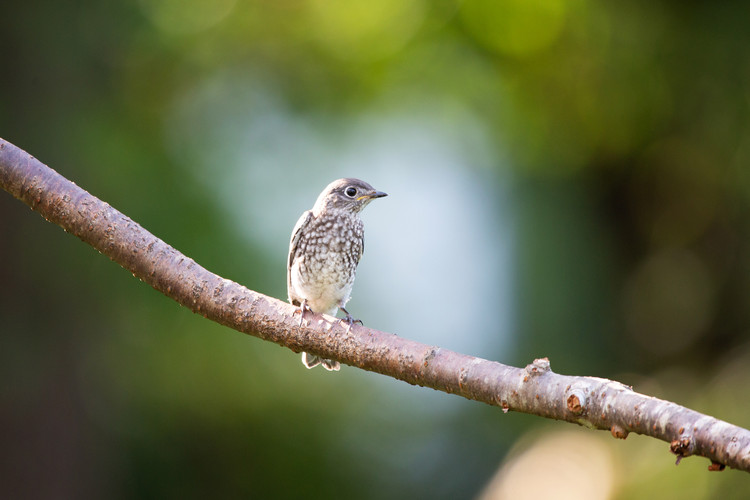 Juvenile Bluebird Branch-2-Web.jpg
