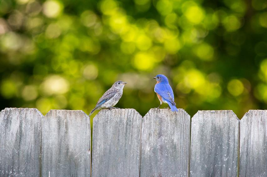 Bluebird Dad and Kid-1998-Web.jpg