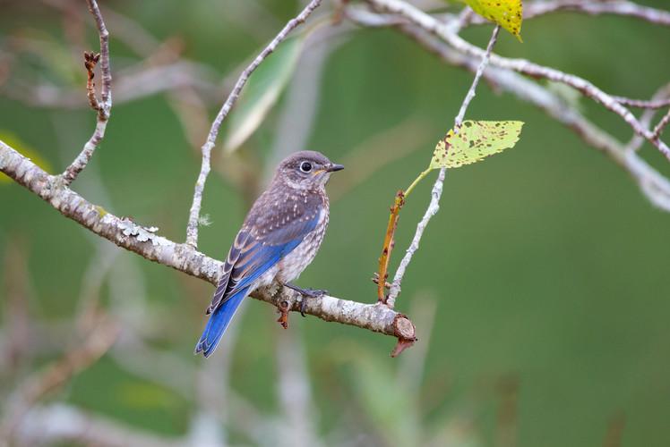 Juvenile Eastern Bluebird-6667-Web.jpg