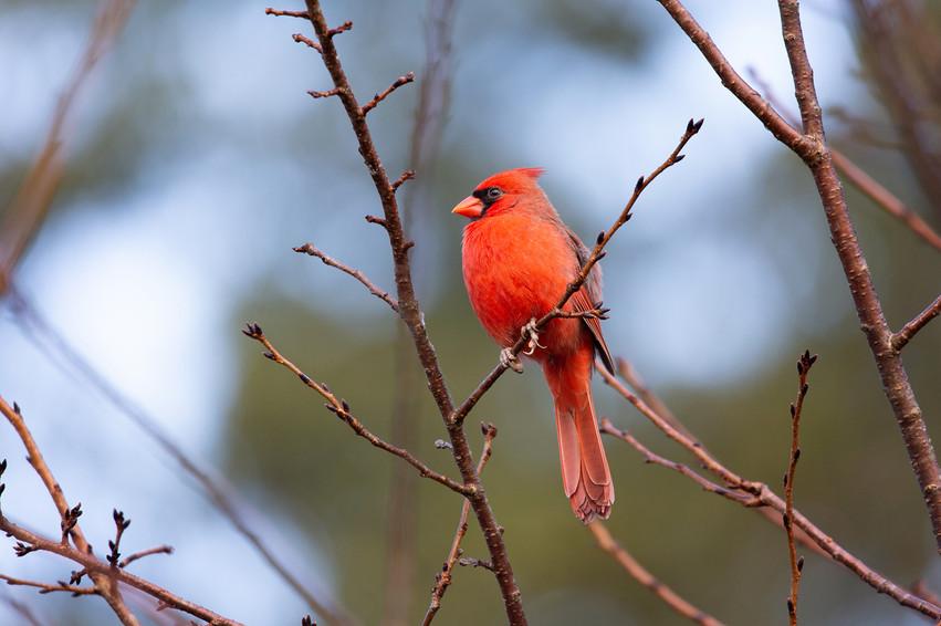 Male Cardinal -9079-Web.jpg