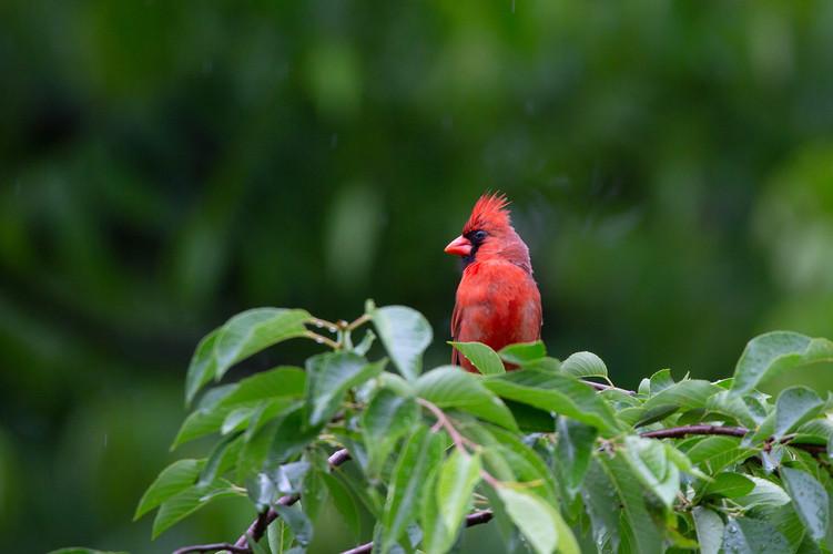 Male Northern Cardinal-2483-Web.jpg