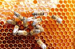 Teamwork Of Some Honey Bees