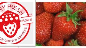 BerryFresh 365 Day Strawberry Production