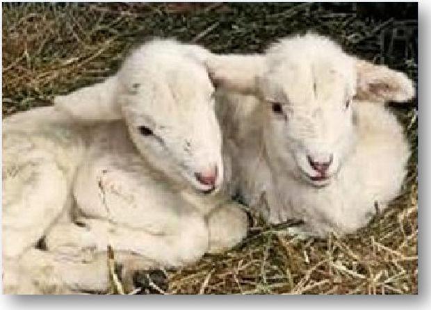 Two Little Lambs -  Heading .jpg