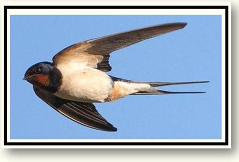 Swallows - Heading .jpg