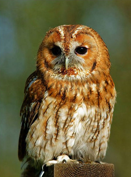 Well, Hello Mr Tawny Owl - Heading .jpg