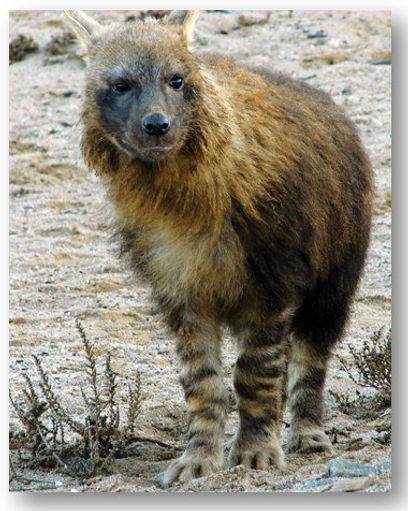 Brown Hyena - Heading .jpg