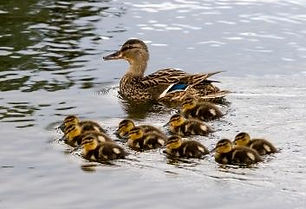Mother and ducklings.jpg