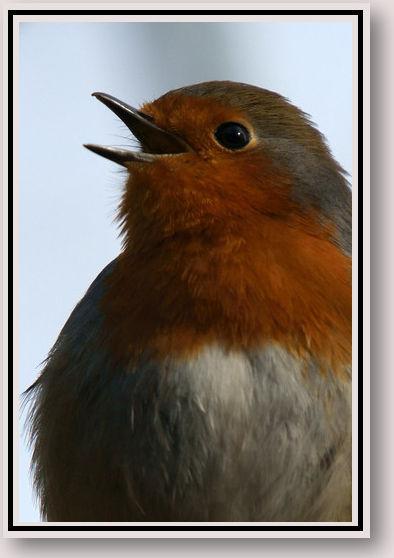 Let Nature Sing - Robin.jpg