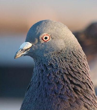 Peter the Pesky Pigeon .jpg