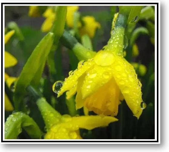 Daffodils in the Rain - white.jpg
