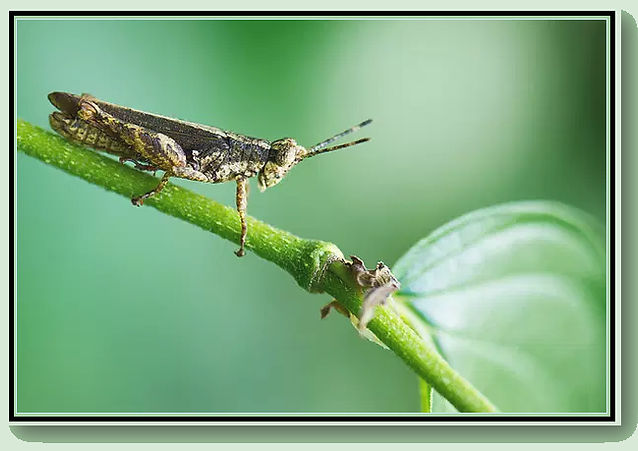 The Grasshopper - Heading .jpg