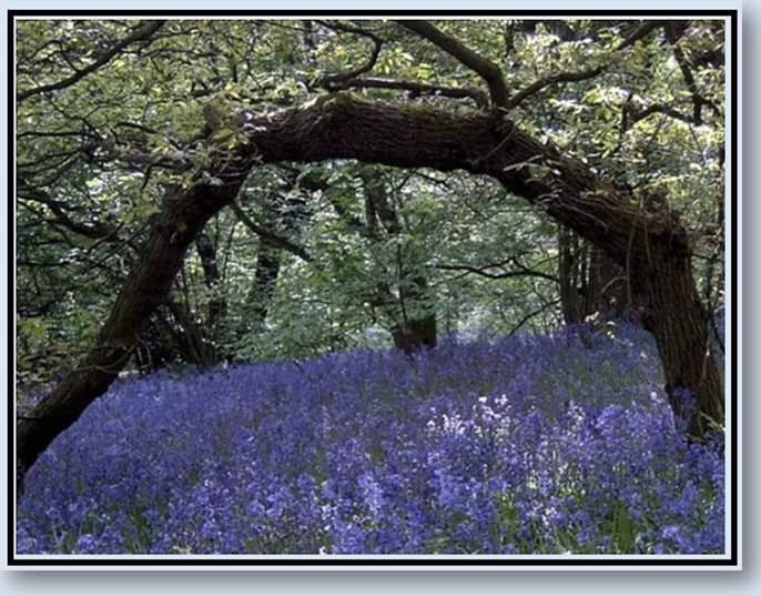 Ode to the Bluebells.jpg