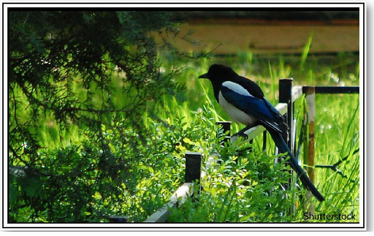 That Thieving Magpie - Heading .jpg
