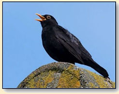 A Blackbird Sings wix.jpg