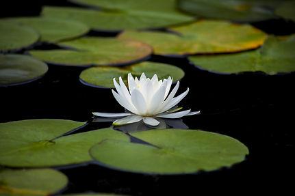 lotus-3144893.jpg