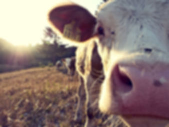 cow-932817_1920.jpg