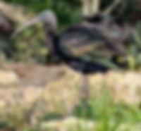 Glossy ibis at Lupita Island