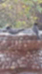 Common bulbul at Lupita Island