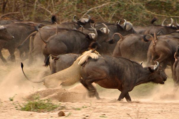 Lions v Buffalo