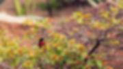 Scarlet-chested sunbird  at Lupita Island