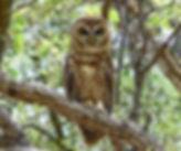 Pel's fishing owl at Lupita Island