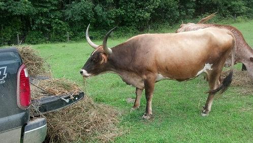 Texas Longhorn Cow: Hit-n-Run