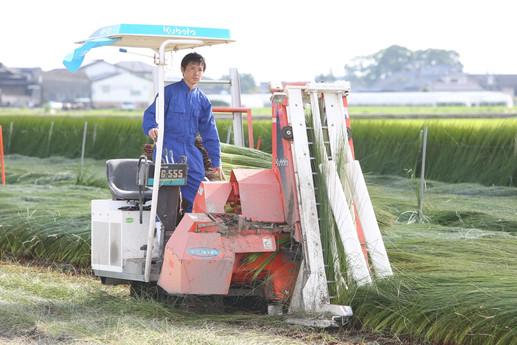 イ草の刈り取り