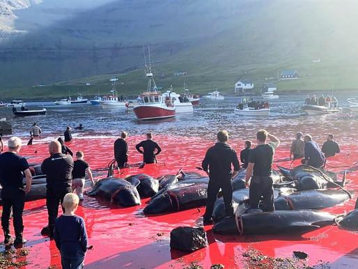 """Novo massacre de 175 baleias-piloto provoca """"maré vermelha"""""""