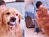 Cão leal protege menina que chora ao ser repreendida pela mãe e viraliza