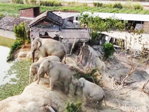 China usa camiões como muro para travar elefantes que saíram de reserva natural