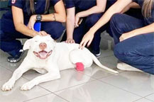 MAUS TRATOS: Pitbull Sansão, que teve as patas decepadas, é internado novamente