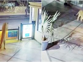 """Leão invade hotel na Índia e """"passeia"""" por estacionamento; veja vídeo"""